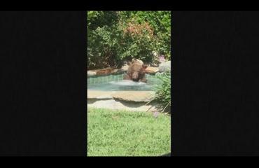 Mark sai takapihalleen kutsumattoman vieraan: kookas karhu kömpi porealtaaseen - uskomaton video!
