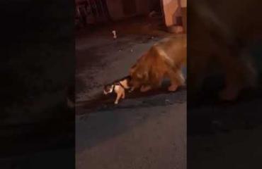Aww, kultainennoutaja esti kissatappelun! Katso viraaliksi mennyt video!