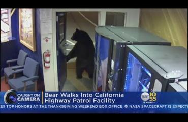 Poliisit hämmästyivät: karhu asteli tottuneesti sisään poliisiasemalle - katso!