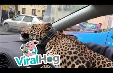 """Leopardi otti taksin Venäjällä! """"Se oli eeppistä"""" - katso video!"""