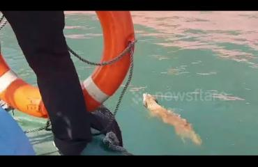Taiwanin rannikkovartiosto jahtasi uivaa koiraa yli tunnin - katso video!