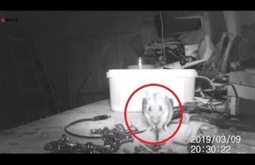 Kuin Disneyn piirretystä! Avulias hiiri siivosi puutarhavajan sotkut - nosti pöydällä lojuneet pultit ja mutterit omille paikoilleen!