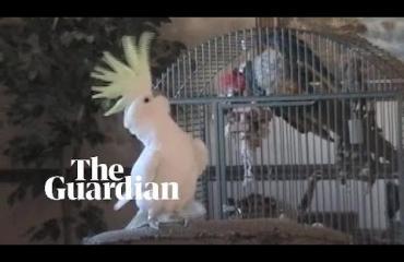 Muistatko tanssivan kakadu Snowballin? Lintu on nyt tutkittu tieteellisesti - lue mitä selvisi!
