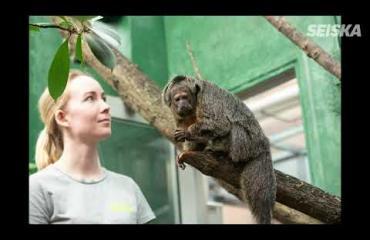Korkeasaaressa erikoinen asumisjärjestely: Laiskiaisvanhus Coco elää kimppakämpässä pikkuapinoiden kanssa – kuvat ja video!