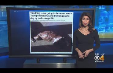 Sankarit! Uimaritytöt pelastivat luonnonvaraisen preeriakoiran varmalta hukkumiselta Coloradossa