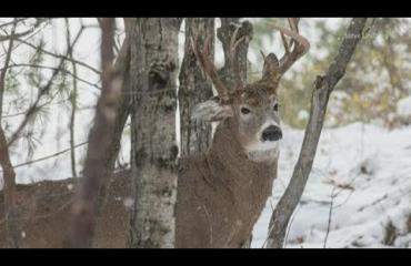 Valokuvaajan nappasi harvinaisen otoksen: kolmisarvinen peura tuijotti suoraan kameraan!!