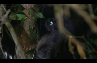 Voi ei! Söpö karhunpentu säikähti tiikereitä ja jäi ansaan puuhun!