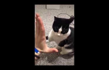 Liora-kissa osaa heittää yläfemmat ja maukuu käskystä - katso!
