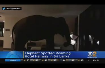 Norsu käveli sisään hotelliin Sri Lankassa!